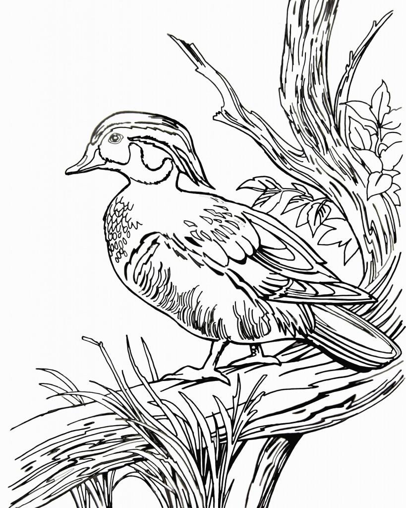Wood Duck coloring, Download Wood Duck coloring