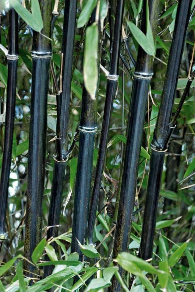 Plantation bambou  comment la russir