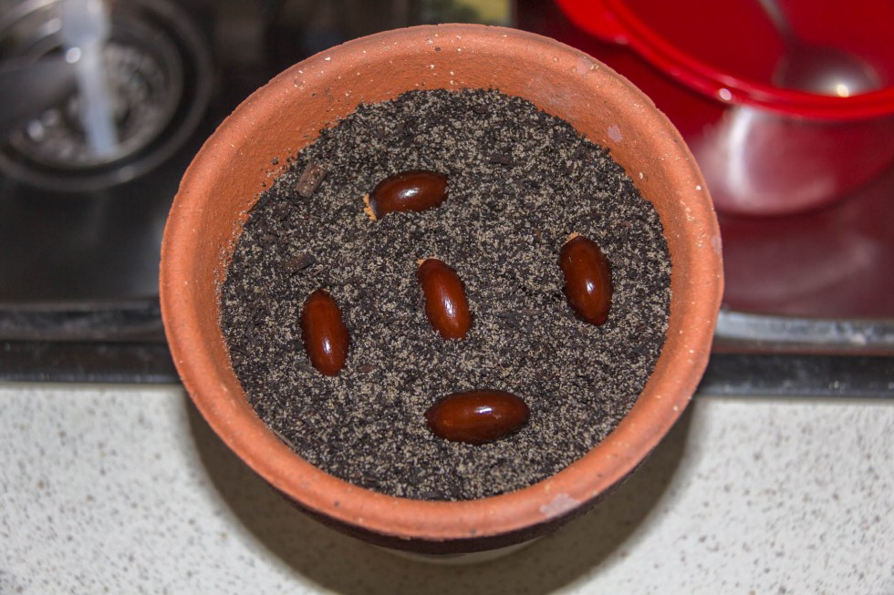 01/01/15 Day 1: Lychee seed germination experimentation Put fresh seeds straight into soil
