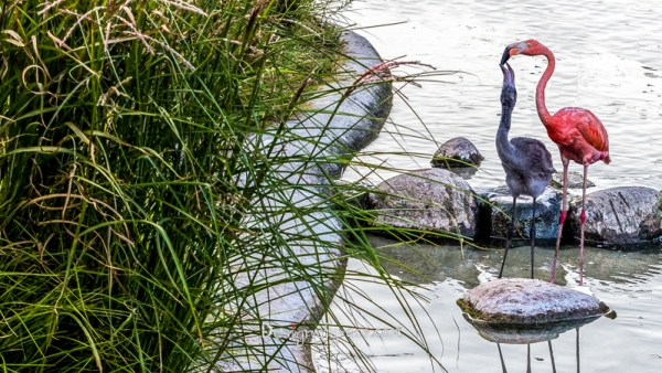A pink Flamingo mum feeding her baby in the water with green reeds on the left,   Zoologisk Museum, Copenhagen, Denmark  