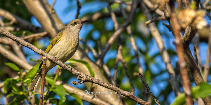 Singing Honeyeater bird in the tree with a blured out tree in my backyard, Perth, Western Australia