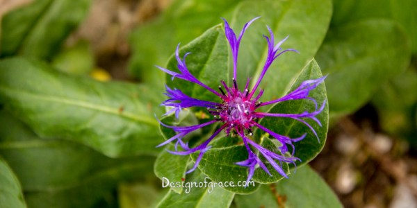 purple delicate flower with green leaf, Schondorf, Utting, Germany