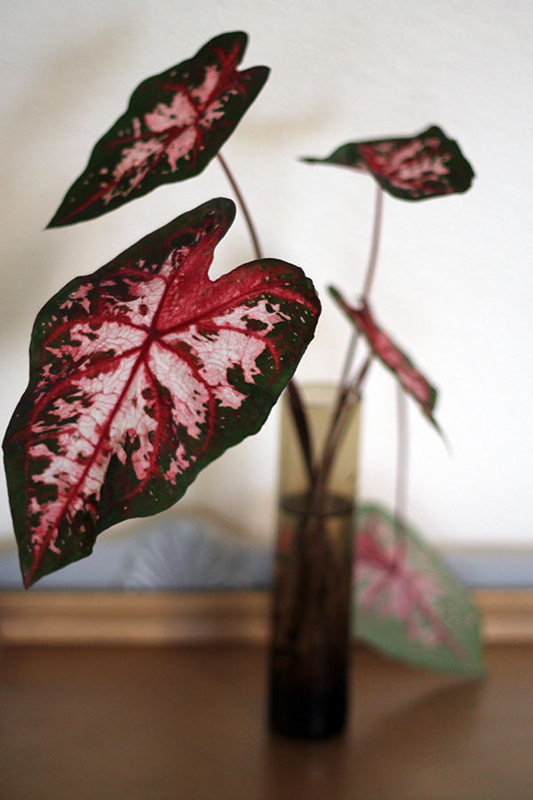 In the Garden -- Caladiums