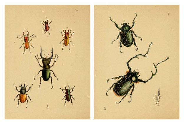 BHL Archive Entomology Natural History Beetles Illustrations