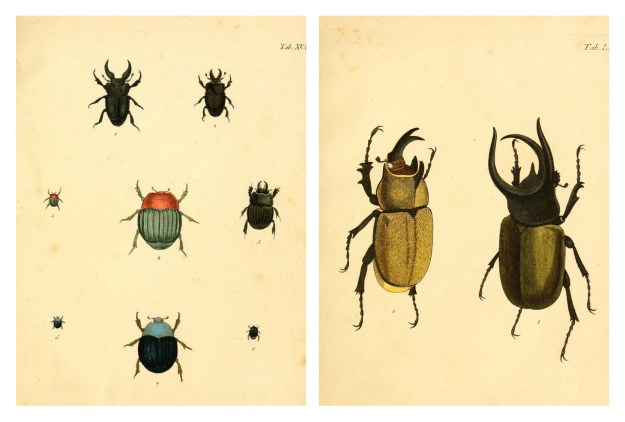 BHL Archive Entomology Natural History Beetles Insect Illustrations
