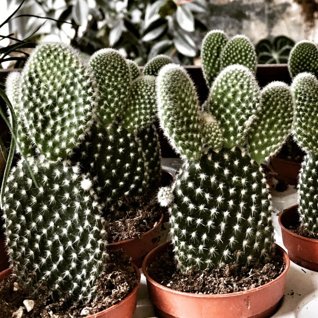 Through the aperture, mini cactus collection, conservatory archives