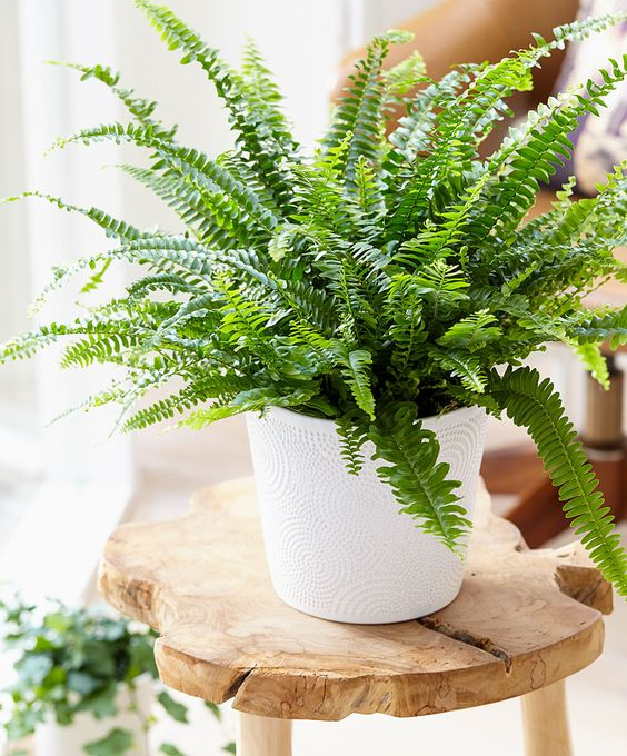 boston fern cat safe house plants that are not toxic to pets