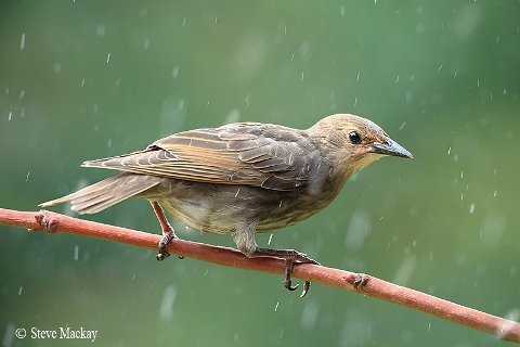 Starling in the Rain Photography