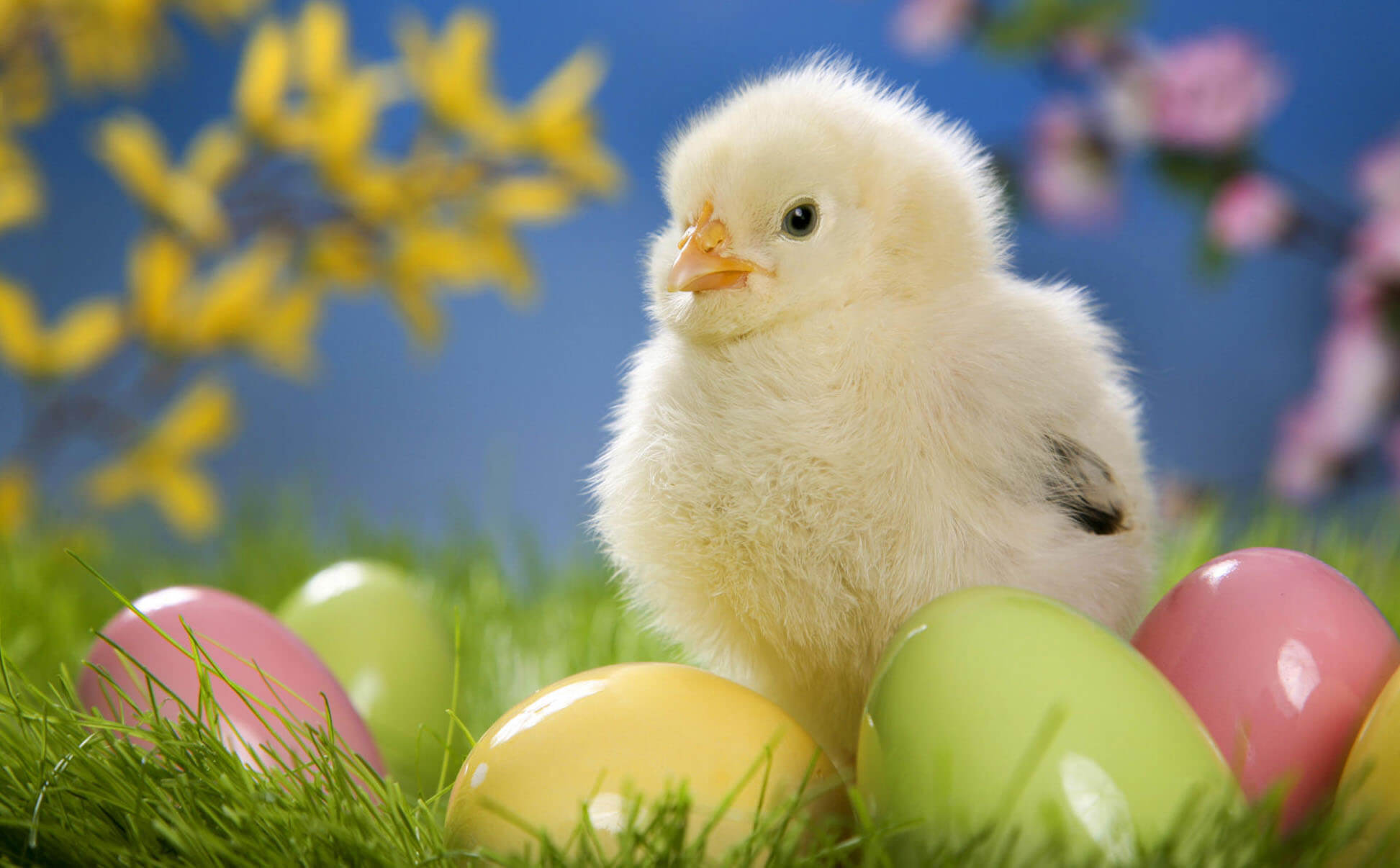 Chick Most Beautiful & Cute