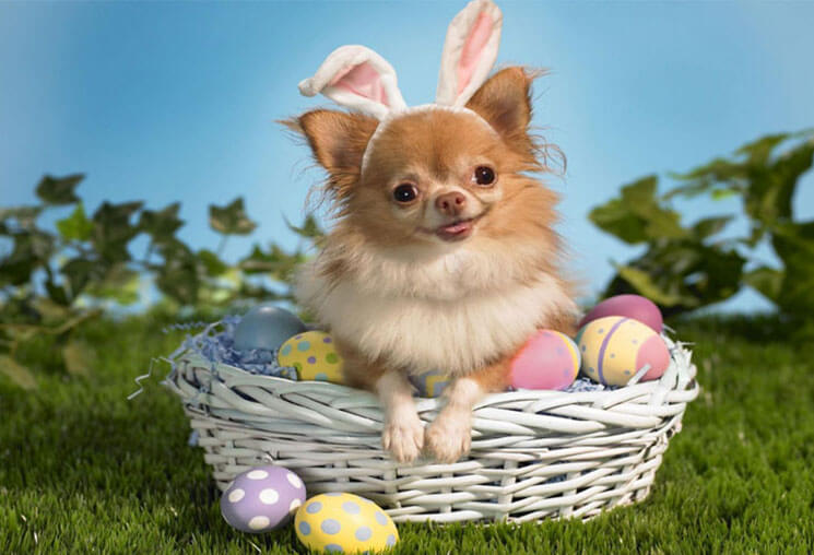 Chihuahua Most Beautiful & Cute Easter
