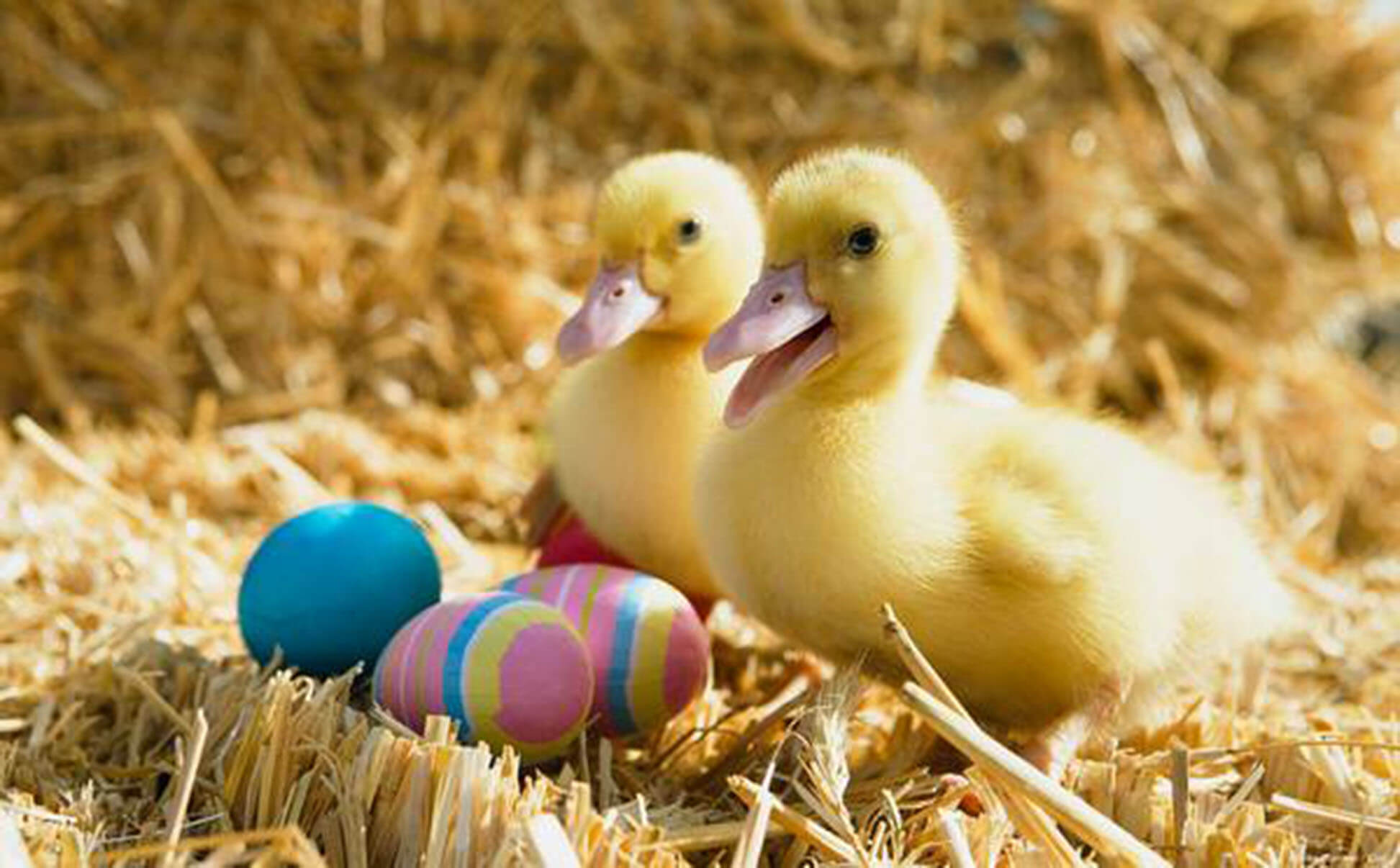 Ducks Cute Easter Wallpaper