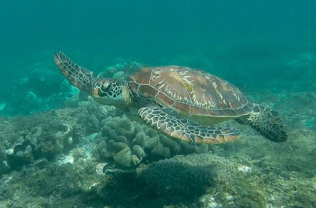 Sea turtle. Apo Island, Philippines
