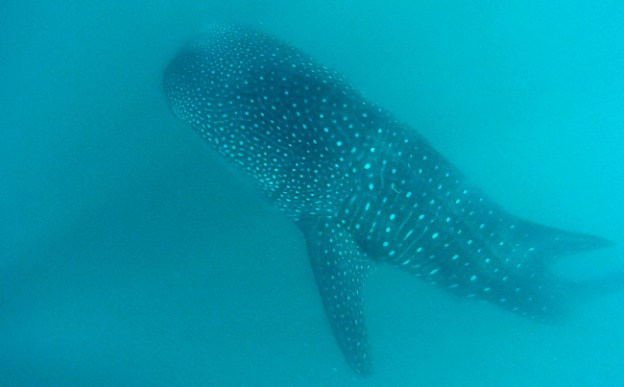 Whale shark. Donsol