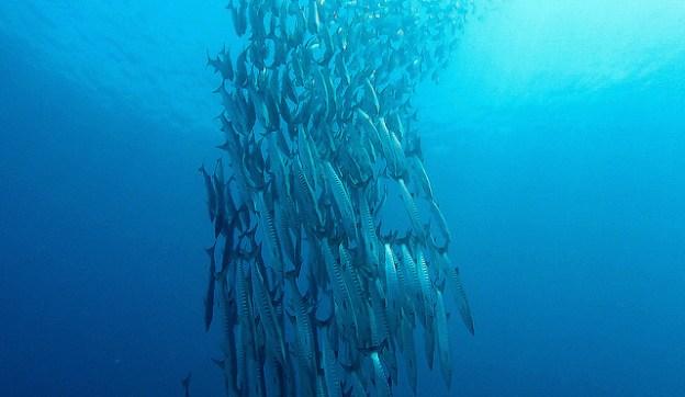 Diving Sipadan: a barracuda vortex