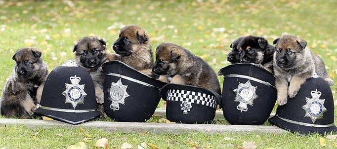 police pups001 German Shepherd police pups