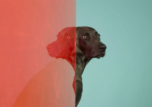 william wegman 01 Dog Portraits by William Wegman