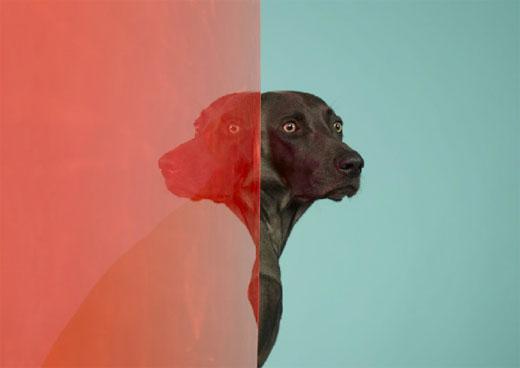 william wegman 01 Dog Portraits by William Wegman