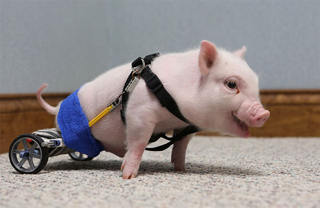 131 Injured Animals Keep Moving with Prosthetics