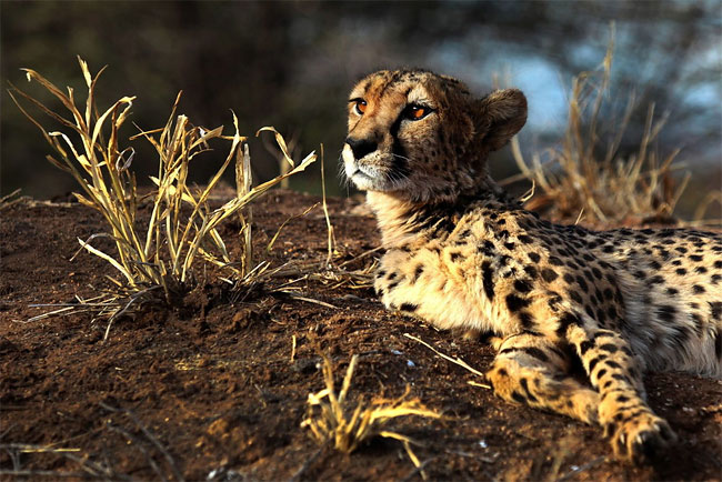 228 Dogs Ease Namibias Cheetah farmer Conflicts