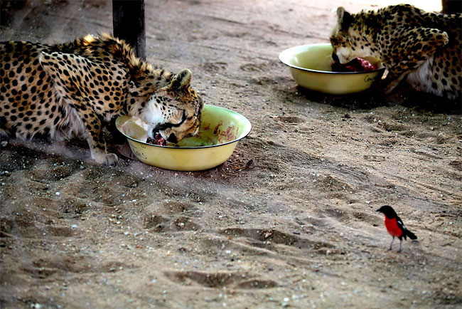 720 Dogs Ease Namibias Cheetah farmer Conflicts