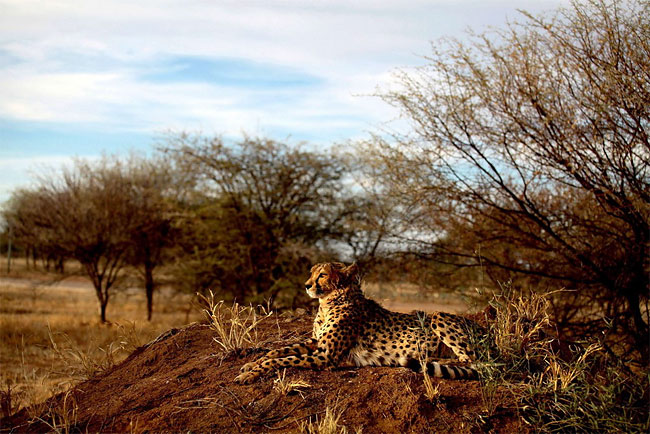 815 Dogs Ease Namibias Cheetah farmer Conflicts