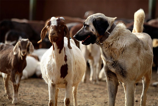 914 Dogs Ease Namibias Cheetah farmer Conflicts