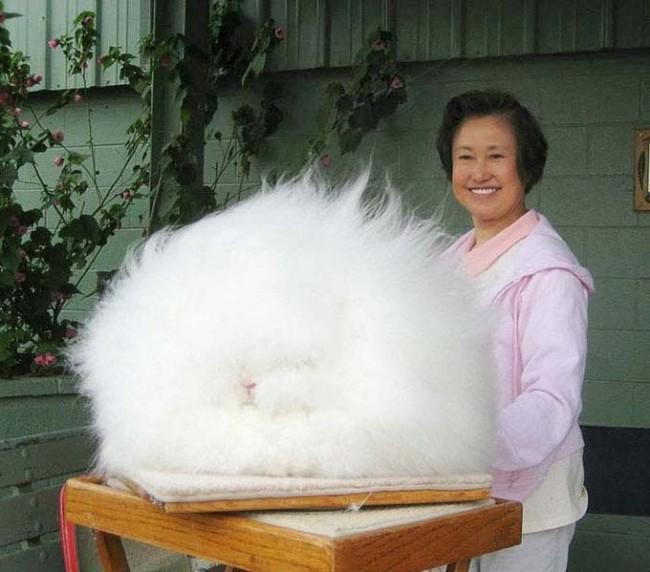World s Most Fluffy Bunny 650x572 Most Fluffy Bunny