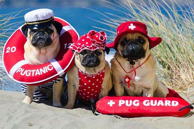 3215 Pugs in Fancy Dress