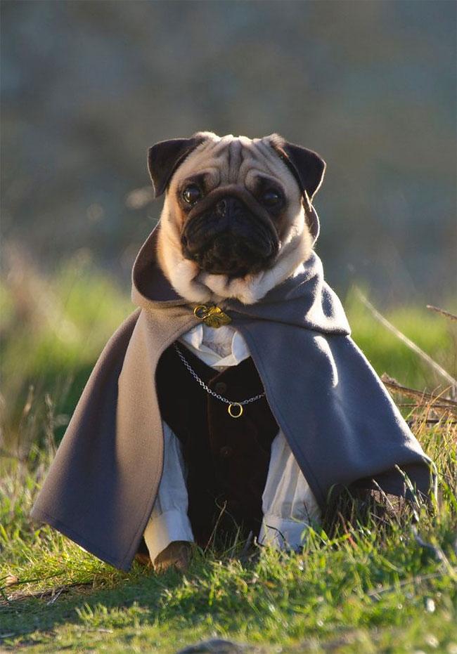 4179 Pugs in Fancy Dress