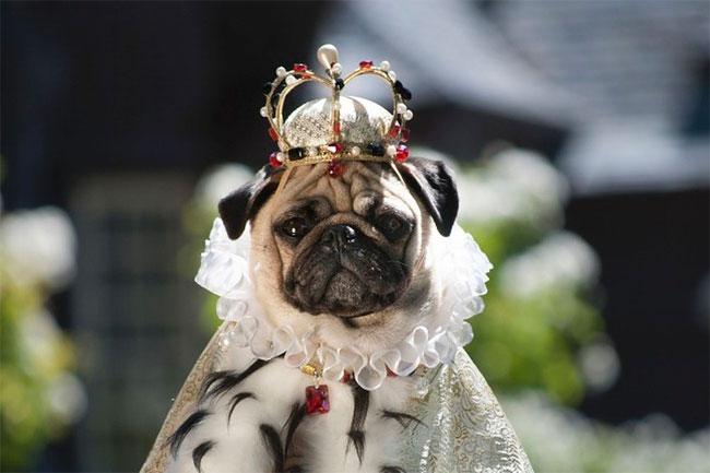 7110 Pugs in Fancy Dress