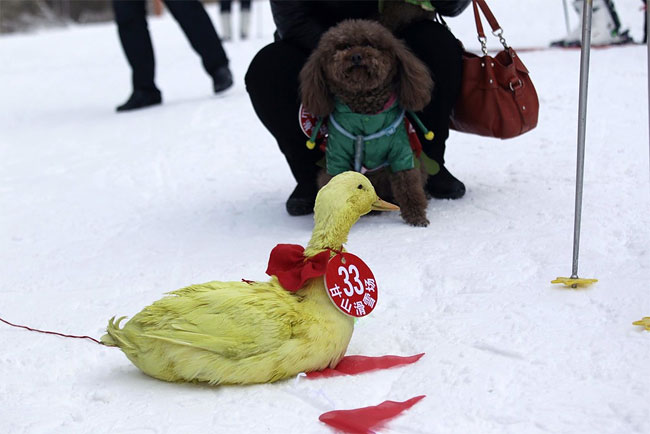1195 Pets and their Owners Take to the Ski Slopes in China