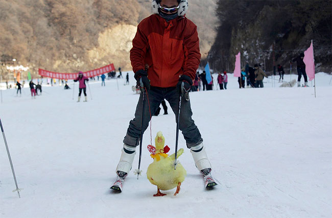 3116 Pets and their Owners Take to the Ski Slopes in China