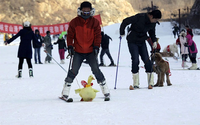 668 Pets and their Owners Take to the Ski Slopes in China