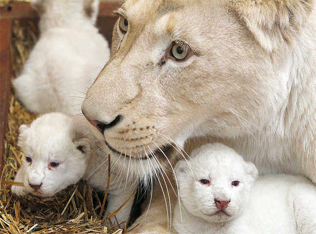 348 Rare White Lion Cubs Born at Polish Zoo
