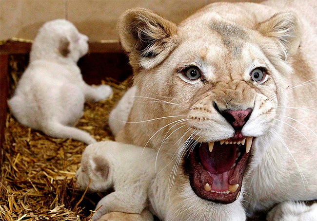 535 Rare White Lion Cubs Born at Polish Zoo