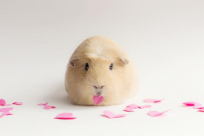 1240 BooBoo the Guinea Pig