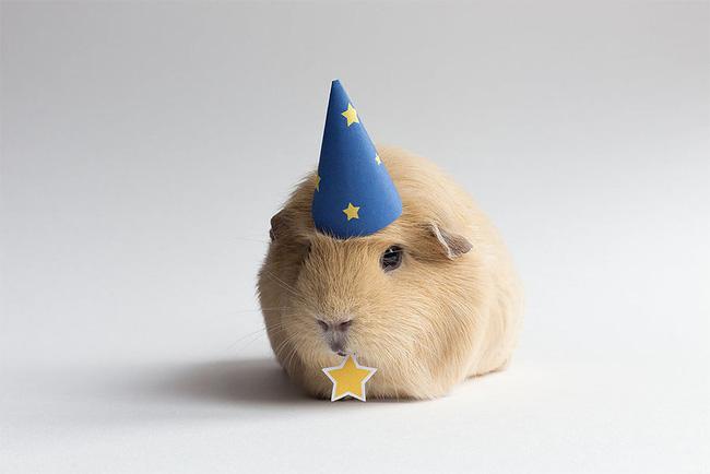 954 BooBoo the Guinea Pig