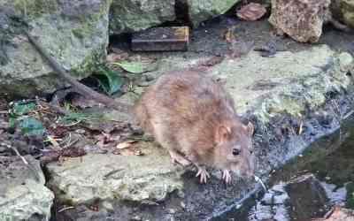 Eliminamos ratas y ratones en Barcelona, Hospitalet, Badalona y Mataró