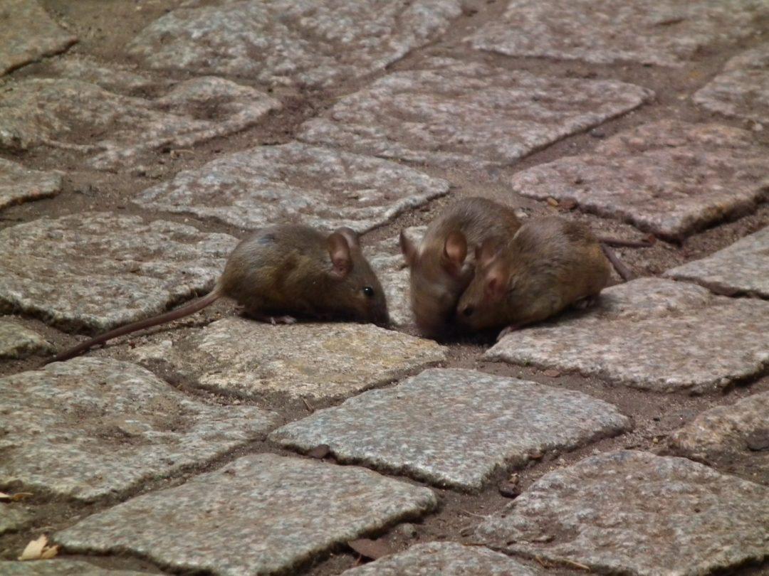 Eliminación de ratas en Barcelona