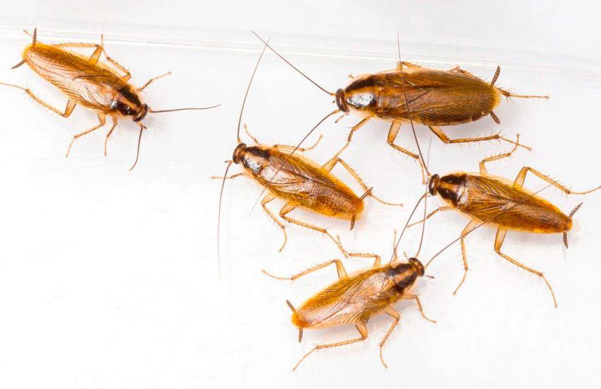 plaga de cucaracha alemana