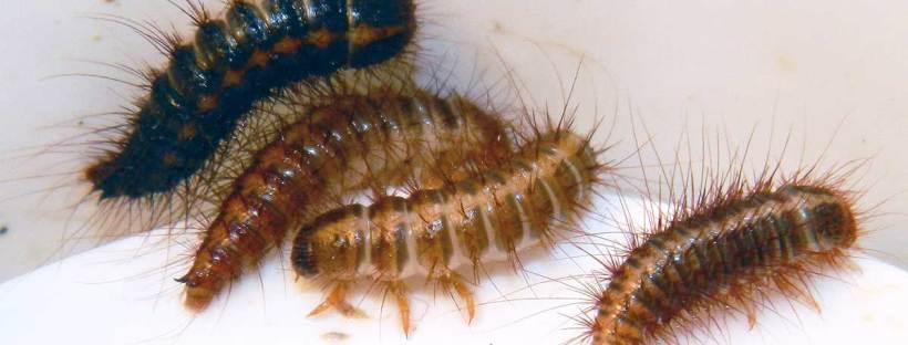 Larvas de Dermestes sp  El desinsectador y desratizador