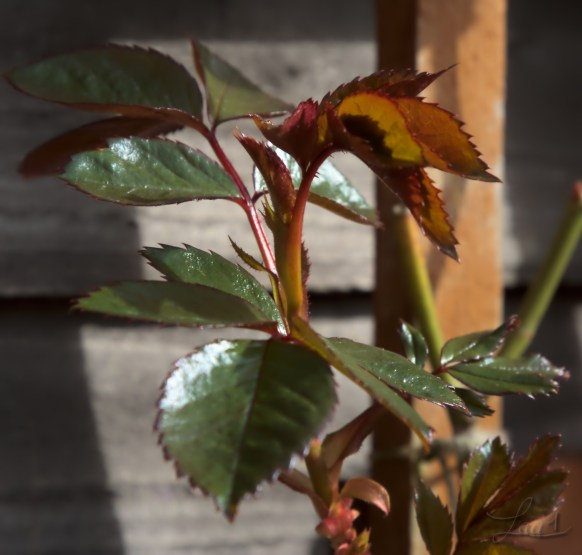 Petite branche de rose