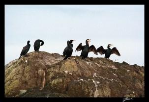 Des Cormorands