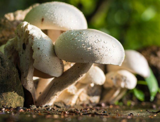 Les champignons, des alliés de la santé