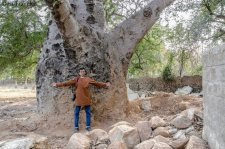 The Old Baobab Tree of Nanakramguda Hyderabad-II