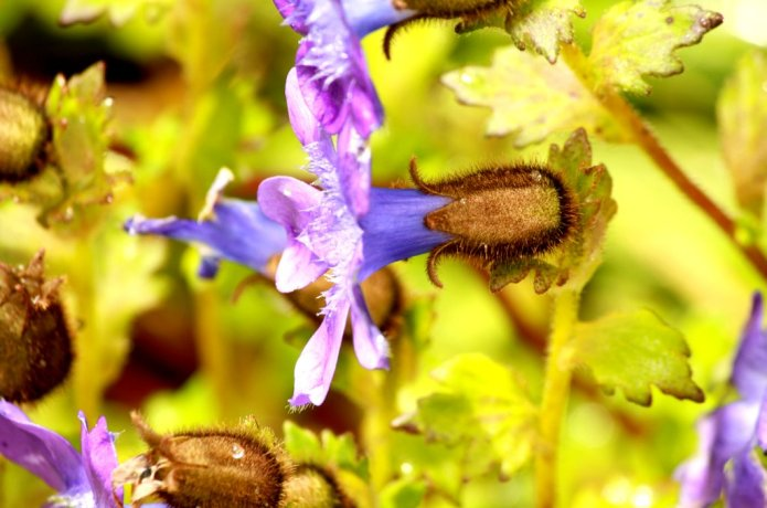 blue flower in Valley of fowers