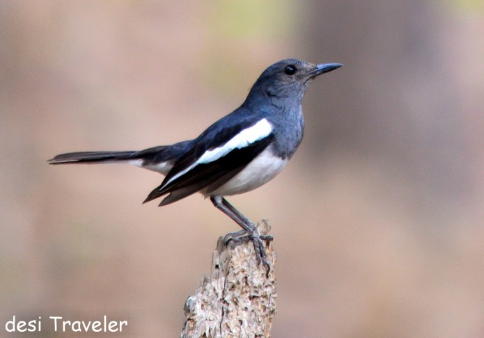 Magpie Robin Copsychus saularis - Birds of Pench National Park