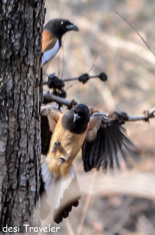 rufous treepie flight Pench birds -Birds of Pench National Park