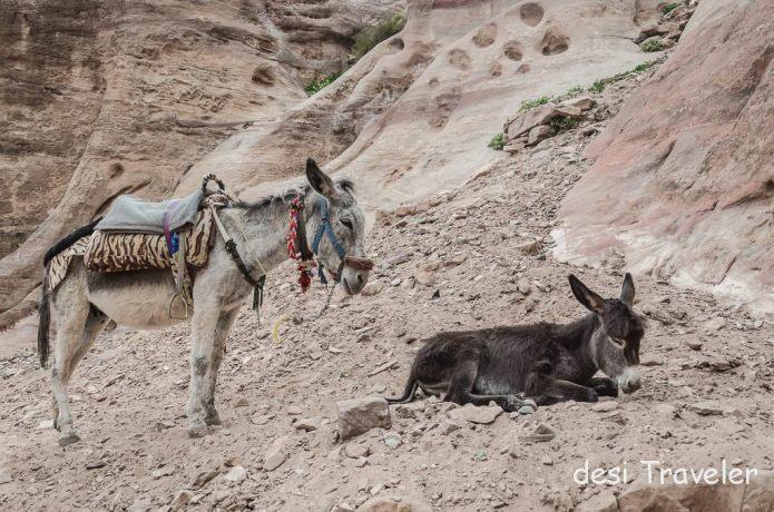 Donkey Foal colt petra