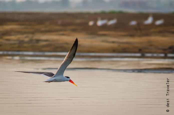 Satpura National Park Birding Indian Skimmer